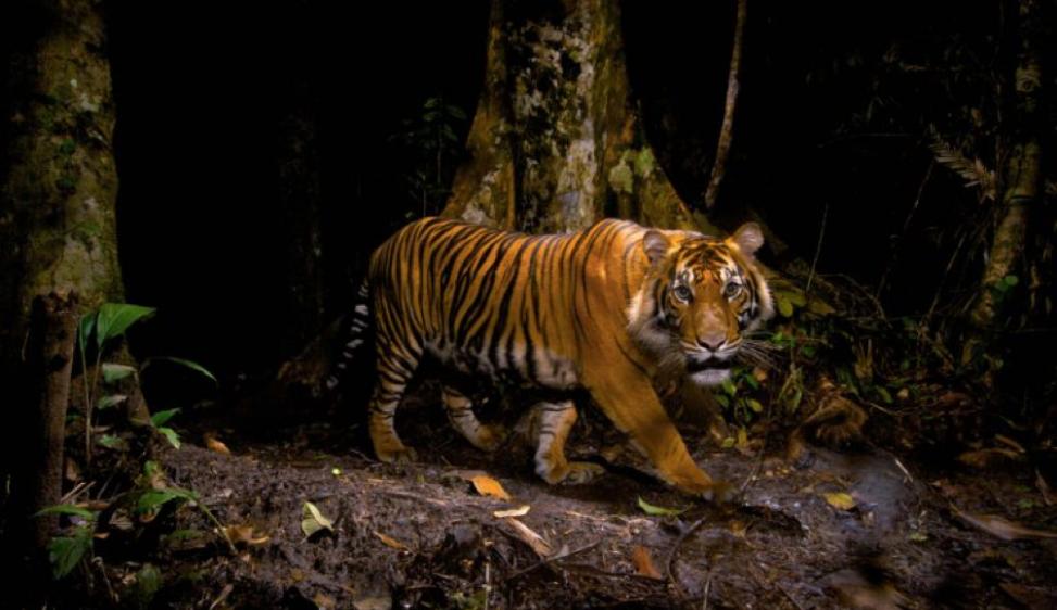Tigri a rischio estinzione. A causa dell'uomo